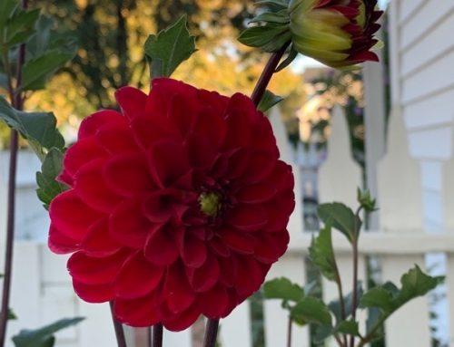 FRIDAY FLOWERS: GROWING DAHLIAS